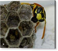 Wasp Nest Acrylic Print by Dean Bennett