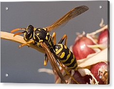 Wasp On Garlic Acrylic Print