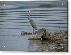 Acrylic Print featuring the photograph Watchful by Eunice Gibb