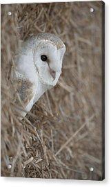Watchfull Barn Owl Acrylic Print