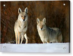 Acrylic Print featuring the photograph Watching by Mitch Shindelbower