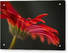 Water Drop On A Red Gerbera Flower Acrylic Print by Pixie Copley