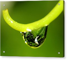 Water Droplet On Grapevine Acrylic Print