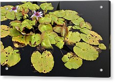 Water Lillies And Pads Acrylic Print by Forest Alan Lee