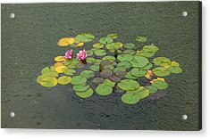 Water Lilly In Rain -1 Acrylic Print by Muhammad Hammad Khan