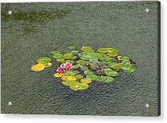 Water Lilly In Rain -2 Acrylic Print by Muhammad Hammad Khan