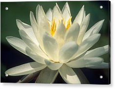 Water Lilly Acrylic Print by Lee Amerson