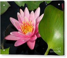 Water Lily 2 Acrylic Print by Eva Kaufman