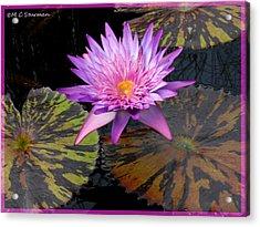 Water Lily Magic Acrylic Print by M C Sturman