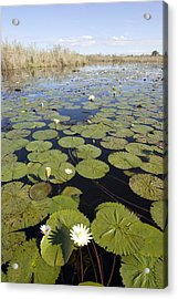 Water Lily Nymphaea Sp Flowering Acrylic Print by Matthias Breiter