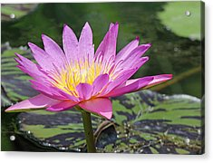 Water Lily On A Sunny Day Acrylic Print by Becky Lodes