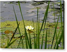 Water Lily On The River Acrylic Print