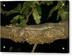 Water Monitor Lizard Sleeping On Branch Acrylic Print by Tim Laman