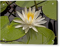 Acrylic Print featuring the photograph Waterlily  by Anne Rodkin