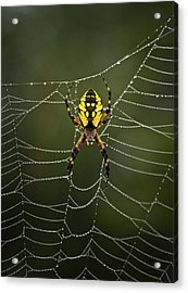 Weave Master Acrylic Print by Susan Capuano