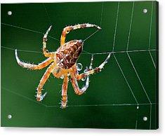 Web Maker Acrylic Print