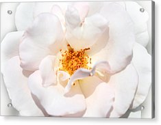 Wedding White Rose Acrylic Print