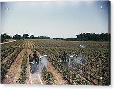 Welchs Grape Vineyard Covers 250 Acres Acrylic Print by Willard Culver