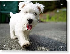West Highland Terrier Female. Acrylic Print by Chris Cole