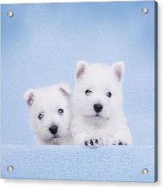 West Highland White Terrier Puppies Acrylic Print by Waldek Dabrowski