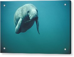 West Indian Manatee Trichechus Manatus Acrylic Print by Tui De Roy