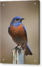 Acrylic Print featuring the photograph Western Bluebird by Britt Runyon
