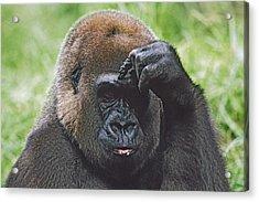 Western Gorilla Portrait With Finger On Acrylic Print by David Ponton