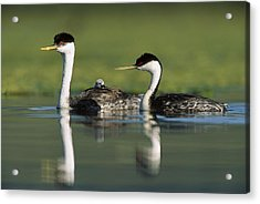 Western Grebe Couple With One Parent Acrylic Print