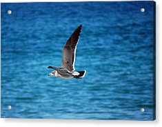 Acrylic Print featuring the photograph Western Gull In Flight by Harvey Barrison