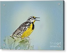 Western Meadowlark Acrylic Print by Betty LaRue