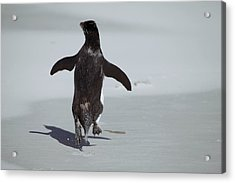 Western Rockhopper Penguin Acrylic Print by Charlotte Main