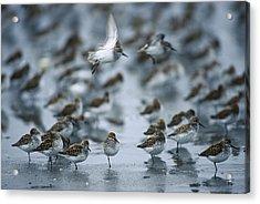 Western Sandpiper Calidris Mauri Flock Acrylic Print by Michael Quinton