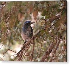 Western Scrub Jay Acrylic Print by Chris Hill