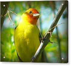 Western Tanager Acrylic Print by Carol Norman