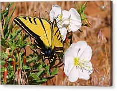 Western Tiger Swallowtail Acrylic Print