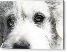 Westie Acrylic Print by Tilly Williams