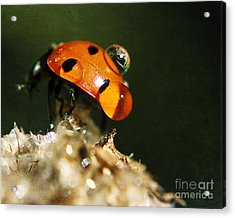 Wet Lady Bug Acrylic Print