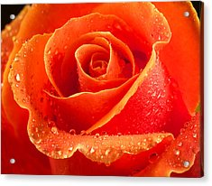 Wet Rose Acrylic Print by Jean Noren