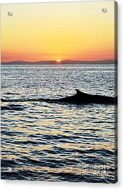 Whale At Sunset Acrylic Print by Timothy OLeary
