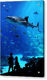 Whale Shark Fly-by Acrylic Print by Brian M Lumley