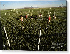 Wheat And Elevated Carbon Dioxide Acrylic Print by Science Source