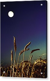 Wheat Field At Night Under The Moon Acrylic Print by The Irish Image Collection