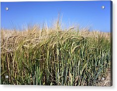 Wheat Field (triticum Sp.) Acrylic Print by Victor De Schwanberg
