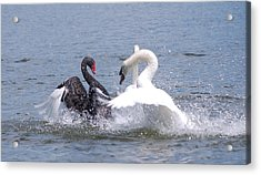 When Swans Attack Acrylic Print by Carrie Munoz