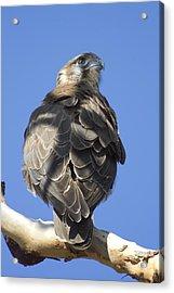 Whistling Kite Acrylic Print by Douglas Barnard