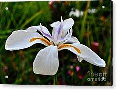 White African Iris Acrylic Print by Gwyn Newcombe