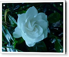Acrylic Print featuring the photograph White And Fragrant by Frank Wickham