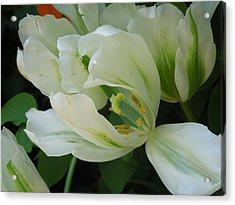 White And Green Tulip Acrylic Print