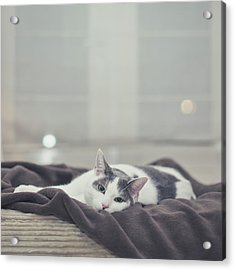 White And Grey Cat Lying On Brown Blanket Acrylic Print by Cindy Prins