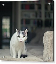 White And Grey Cat On Couch Looking At Birds Acrylic Print by Cindy Prins